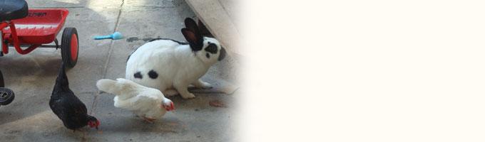 In onze tuin hebben we ook een klein boerderijtje met kippen en konijnen